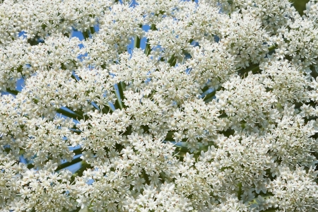 zoned: Flowering of giant Hogweed plant inflorescences, close-up  Latin name  heracleum sphondylium Stock Photo