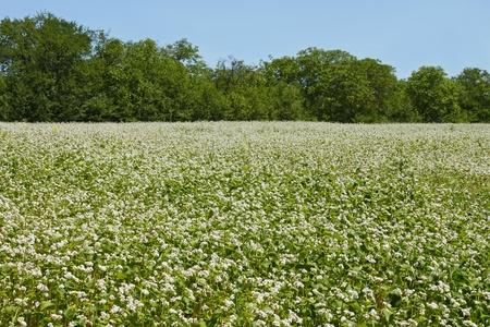 Edge of flowering buckwheat field near trees. A lot of buckwheat plants Stock Photo - 14292238