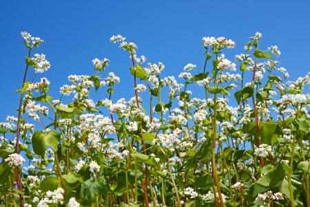 Group of flowering buckwheat plants close-up on the background of cloudless blue sky Stock Photo - 14292213