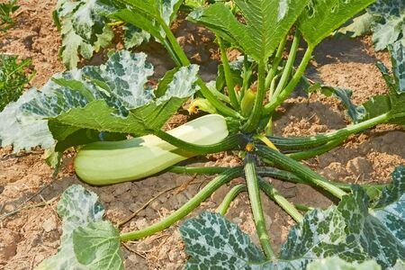 Courgette fruit  Cucurbita pepo  growing on a green plant in soil photo