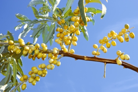 Branch of ripening wild olive trees with yellow fruits on the background of blue sky in fine sunny day photo