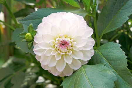 White with pink tinge dahlia on flowerbed close up photo