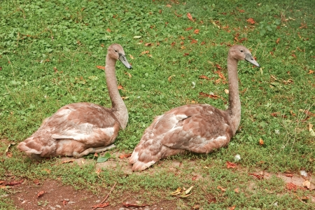 Two young swans sitting on green grass when changing plumage in autumn season Stock Photo - 15301960