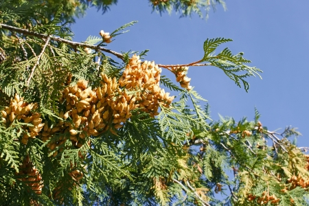 Arborvitae branch with ripe light brownish cones against the blue sky on a fine autumn day Stock Photo - 15391200
