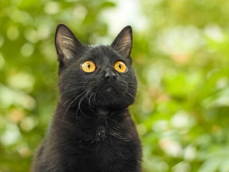 Portrait of funny young black cat on the background of green foliage photo