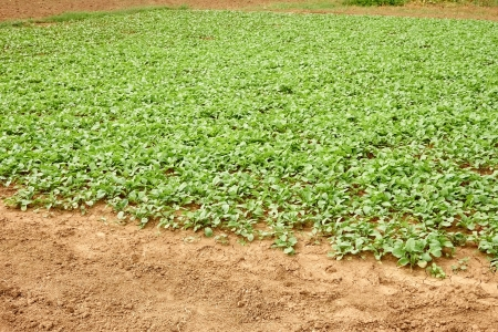 Area of planted radishes on a vegetable garden Stock Photo