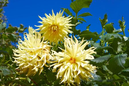 georgina: Three yellow dahlias in the flowerbed. Fine sunny day Stock Photo