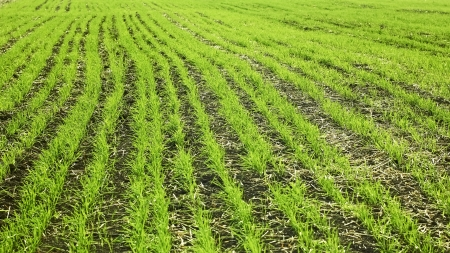 Field sown with rows of wheat plants in autumn Stock Photo