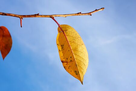 Bright yellow leaf of cherry tree hanging on twig against blue sky close-up photo