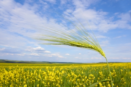 Green barley spikelet close-up over yellow flowering rapeseed field against the sky with clouds  Stock Photo - 16667258