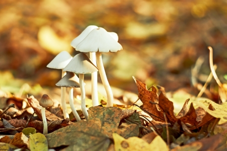 fungi woodland: Group of small white mushrooms in the autumn forest among fallen leaves