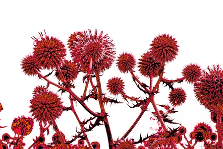Spherical thistle flowers (Echinops ritro) on the black background. Toned herbal texture in reddish colors