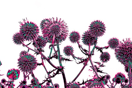 Spherical thistle flowers (Echinops ritro) on the black background. Toned herbal texture in bright colors Stock Photo