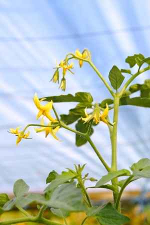 Flowering branch of tomato plants in film greenhouses