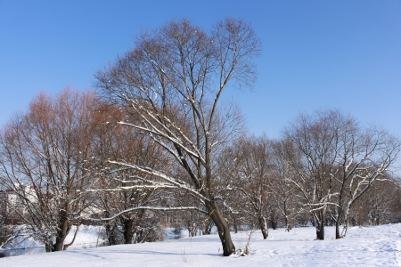 Snow-covered trees in winter city park on a background of azure cloudless sky Stock Photo