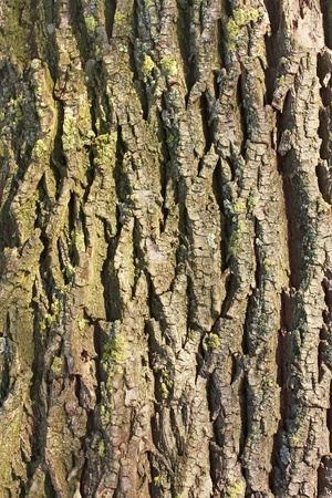 Detail of old willow tree bark in the sunlight Stock Photo - 17885937