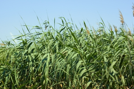 fine cane: Dense thicket of reeds in a lovely summer day