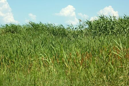 fine cane: Thick overgrown cane in a fine summer day Stock Photo