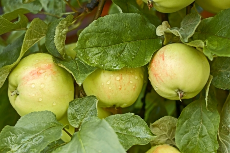 Three apples covered with water drops after the rain ripens on the tree photo