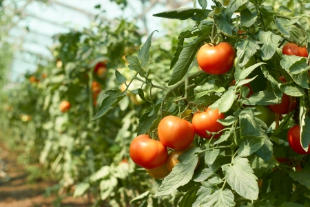 Bunch of red tomatoes that ripening in greenhouse