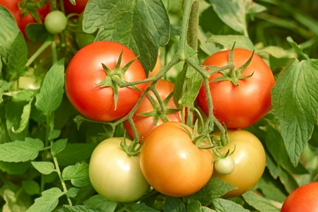Bunch of tomatoes which ripens in the greenhouse close up photo