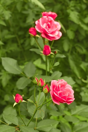 Pink roses in the flower bed close-up photo
