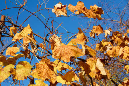 Yellow and scarlet leaves on a grapes bush against the background a blue sky in a lovely sunny autumn day photo