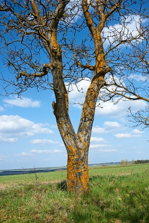 Old tree walnut covered with yellow lichen in springtime against a background of blue sky and field photo