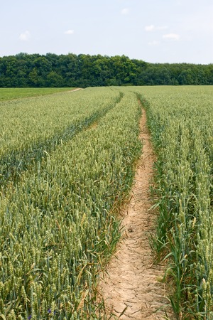 Technological tracks for crops processing on ripening wheat field in early summer photo