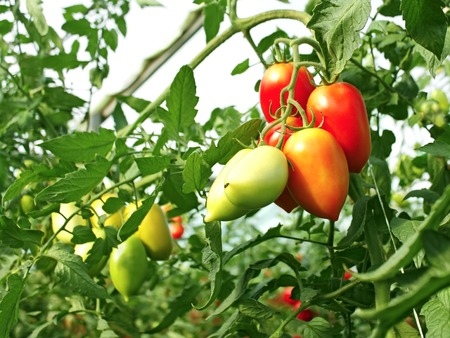 the oblong: Bunch of oblong red ripening tomatoes in the greenhouse, close-up