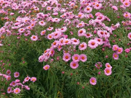 Lots of flowering chrysanthemums on flowerbed in autumn season photo