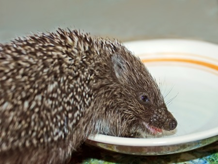 Little funny hedgehog drinks milk from a plate, close-up