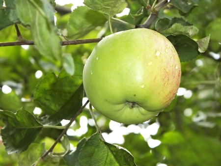 Ripening big apple fruit with water droplets hanging on a branch