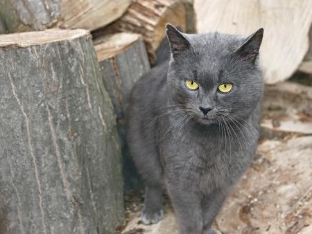 hornbeam: Mature gray cat outdoors near the large hornbeam logs for firewood
