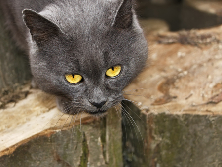 sorrowful: Mature sorrowful gray cat with sad eyes outdoors on the large hornbeam logs