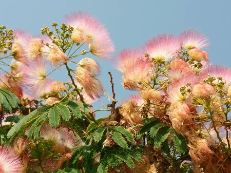 fabaceae: Flowering Albizia, Latin name: Albizia julibrissin, subfamily Mimosoideae of the family Fabaceae. These trees or shrubs are commonly called also: silk plants, silk trees, or sirises Stock Photo