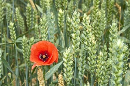 maturing: Red Poppy among maturing wheat ears serene summer day
