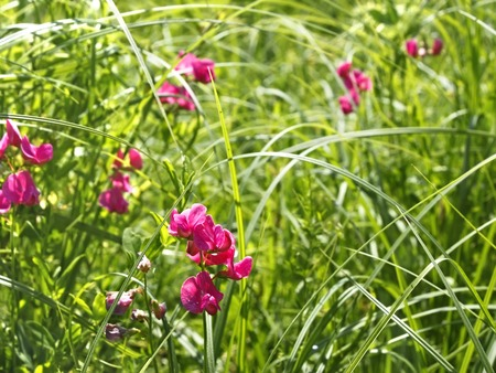 tuberous: Flowering pink tuberous pea among meadow grasses. This plant also known as the tuberous vetchling, earthnut pea, or aardaker. Latin name: Lathyrus tuberosus