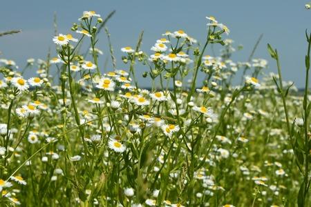 synonym: Flowering of Eastern daisy fleabane plants in summer windy weather, or Phalacroloma annuum is a synonym of Erigeron annuus