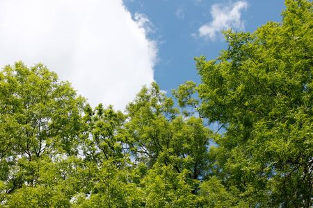 ash tree: Ash tree crowns against the sky with white clouds