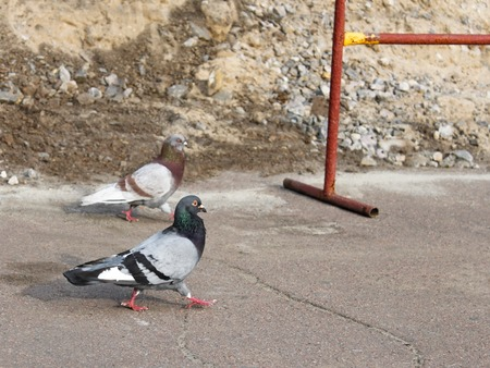 Two pigeons walking on the asphalt near the site of repair road works photo