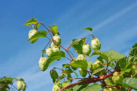 humulus: Hop cones (Latin name: Humulus lupulus) on a background of blue sky in early autumn, close-up