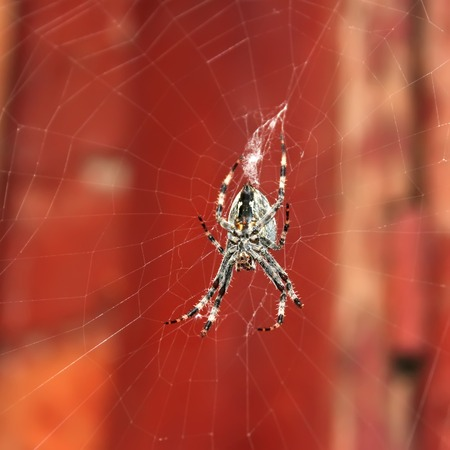 arachnophobia animal bite: Big spider hanging on a web on the background of old red painted boards, Halloween concept Stock Photo