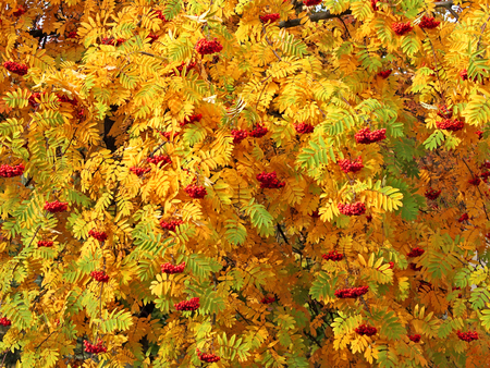 sorbus aucuparia: Red bunches of mountain ash (Sorbus aucuparia) hanging on the branches among the thick bright green, yellow and orange autumn leaves in a sunny October day