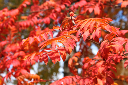 sorbus: Lush red autumn leaves of mountain ash (Sorbus aucuparia) in sunny October day Stock Photo