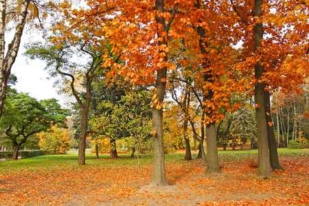 yellowing: Beautiful park trees with yellowing leaves in calm autumn weather