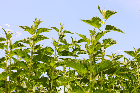 stinging  nettle: Stinging nettle young plants in bright sunlight, in Latin: Urtica dioica