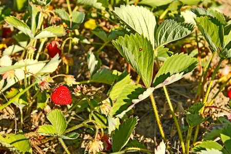 fragaria: Red ripe strawberry (Fragaria moschata) growing in the garden, close-up
