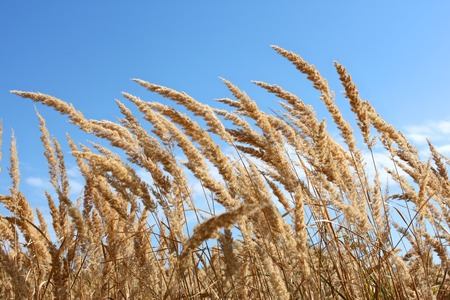 Dried plants of cereal weeds on the background of blue sky in windy weather