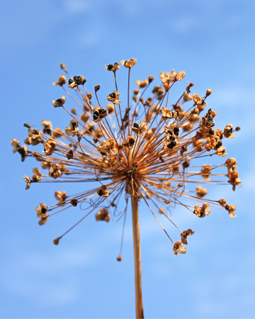 black seeds: Dried inflorescence of allium with black seeds on the background of blue sky